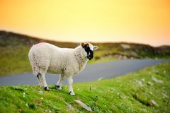 Pecore segnate con la tintura variopinta che pasce nei pascoli verdi dell'Irlanda Immagine Stock Libera da Diritti