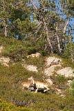 Pecore selvagge Immagini Stock