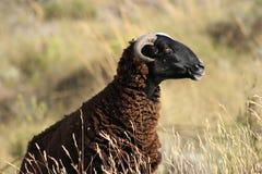 Pecore selvagge Fotografia Stock Libera da Diritti