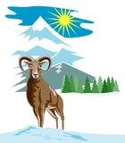 Pecore selvagge con la montagna Immagini Stock