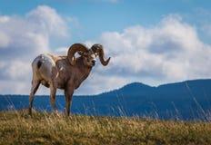 Pecore selvagge del Big Horn in Alberta del sud Immagini Stock Libere da Diritti