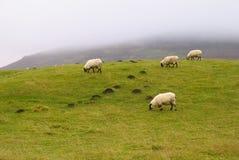 pecore Shropshire delle colline Immagini Stock Libere da Diritti