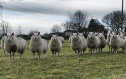 Pecore simmetriche Fotografia Stock Libera da Diritti
