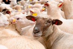 Pecore slovacche nella moltitudine che esamina macchina fotografica Fotografia Stock Libera da Diritti
