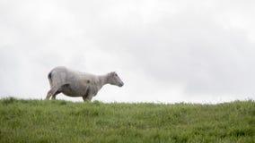 Pecore sole che guardano fuori dalla cima di una collina Immagine Stock
