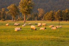 Pecore sopra il terreno coltivabile verde del campo Fotografie Stock