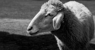 Pecore sorridente Fotografia Stock