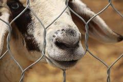 Pecore sorridenti Fotografia Stock Libera da Diritti