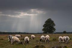 Pecore sotto le nuvole scure in un campo nel Drenthe, Paesi Bassi immagini stock