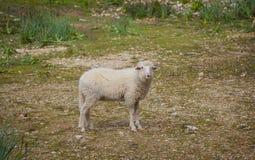 Pecore spagnole in Mallorca Fotografia Stock