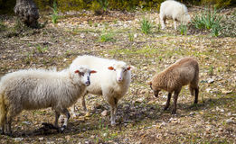 Pecore spagnole in Mallorca Fotografie Stock