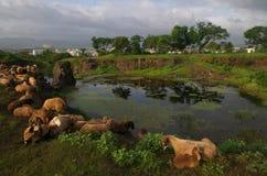 Pecore, stagno e bello cielo Fotografia Stock