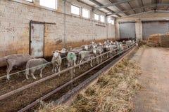 Pecore in stalla Fotografie Stock Libere da Diritti