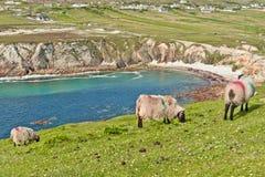 Pecore su clifftop, Irlanda Immagini Stock