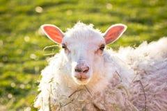 Pecore su erba Immagine Stock Libera da Diritti