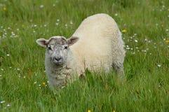 Pecore su erba Fotografia Stock Libera da Diritti