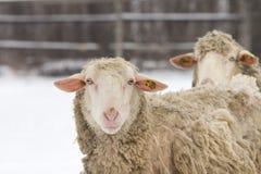 Pecore su neve Fotografia Stock Libera da Diritti