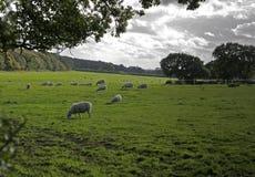 Pecore su terreno coltivabile, Wirral, Inghilterra. Immagine Stock
