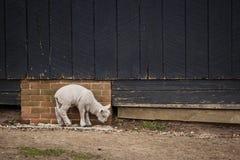 Pecore su un'azienda agricola Fotografia Stock
