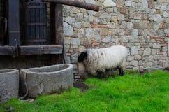 Pecore su un'azienda agricola Immagine Stock