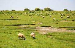Pecore su un campo Fotografia Stock