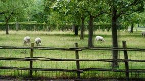 Pecore su un campo Fotografia Stock Libera da Diritti
