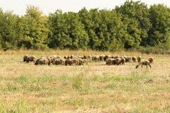 Pecore su un campo di erba con gli alberi Immagine Stock Libera da Diritti