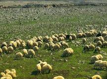 Pecore su un campo verde nel tempo di primavera Fotografie Stock Libere da Diritti