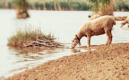 Pecore su un foro di innaffiatura Acqua potabile delle pecore sulla riva di Fotografie Stock