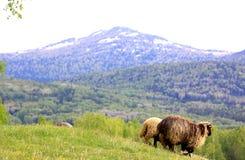 Pecore su un pascolo Immagini Stock Libere da Diritti