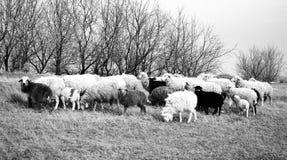Pecore su un pascolo Fotografia Stock Libera da Diritti