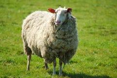 Pecore su un pascolo fotografia stock