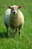 Pecore su un pascolo immagine stock libera da diritti