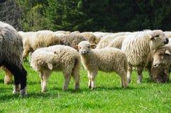 Pecore su un pascolo della montagna Immagini Stock