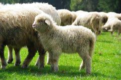Pecore su un pascolo della montagna Fotografia Stock Libera da Diritti