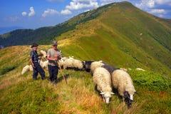 Pecore su un pascolo della montagna Fotografie Stock