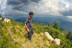 Pecore su un pascolo della montagna Fotografie Stock Libere da Diritti
