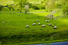 Pecore su un pascolo idilliaco della montagna in Baviera immagine stock