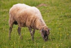 Pecore su un pascolo nel prato della campagna Immagini Stock Libere da Diritti