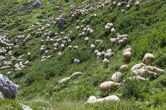 Pecore su un pendio di collina Fotografia Stock Libera da Diritti