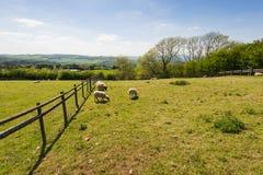 Pecore su un prato Fotografia Stock