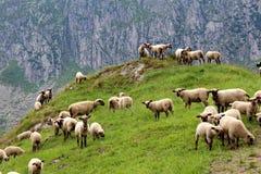 Pecore su un prato Immagini Stock Libere da Diritti