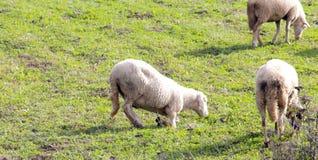 Pecore su un prato tema degli animali domestici Fotografia Stock Libera da Diritti
