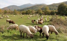 Pecore su un prato tema degli animali domestici Fotografia Stock