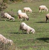 Pecore su un prato tema degli animali domestici Immagini Stock