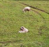 Pecore su un prato tema degli animali domestici Fotografie Stock
