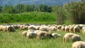 Pecore su una collina Immagini Stock Libere da Diritti