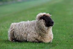 Pecore su una diga fotografia stock