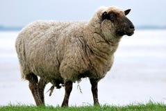 Pecore su una diga fotografie stock libere da diritti