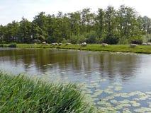 Pecore su una diga da qualche parte in Hart verde dell'Olanda Fotografie Stock